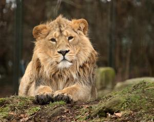 asiatic_lion